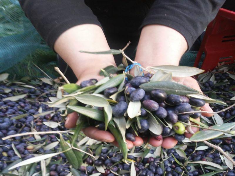 Foto delle olive raccolte da Novaro Nicola