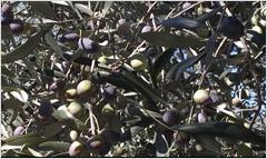 L'Olio Extravergine di Oliva dalla pianta alla tavola